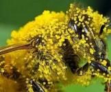 цветочная пыльца рецептов здоровья суставов