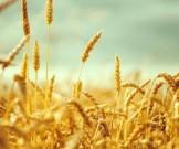 пшенице отыскали опасный человека белок
