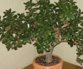 лечебные свойства денежного дерева артрите варикозе