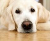 поцелуй собаки полезным