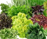 полезна опасна весенняя зелень
