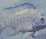 лечения ожогов впервые применили рыбью кожу